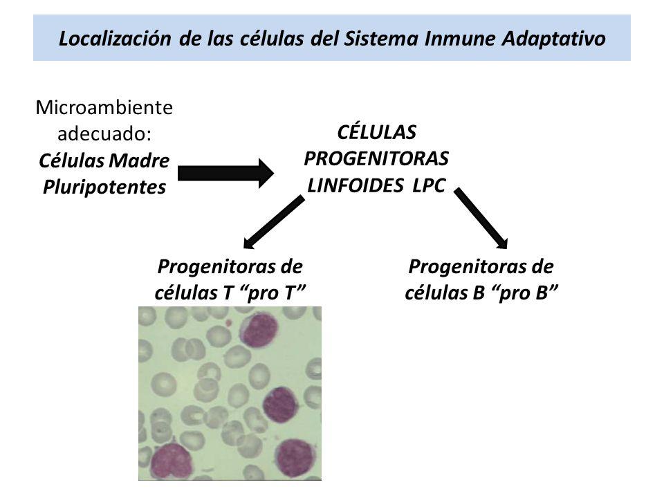 Localización de las células del Sistema Inmune Adaptativo Microambiente adecuado: Células Madre Pluripotentes CÉLULAS PROGENITORAS LINFOIDES LPC Proge
