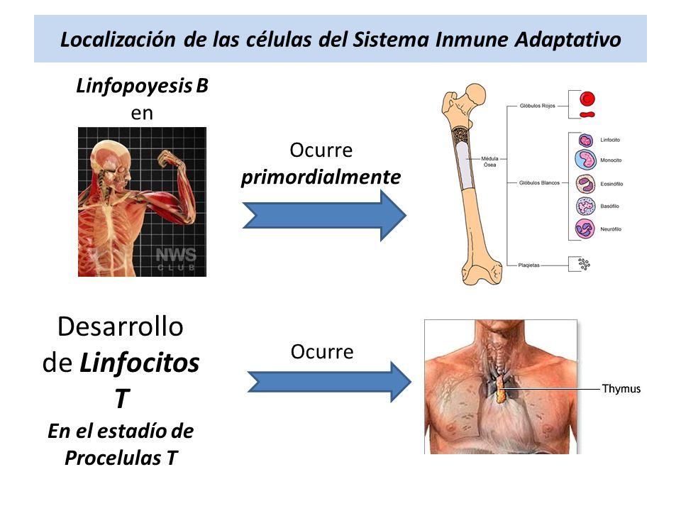 Localización de las células del Sistema Inmune Adaptativo Linfopoyesis B en Ocurre primordialmente Desarrollo de Linfocitos T En el estadío de Procelu