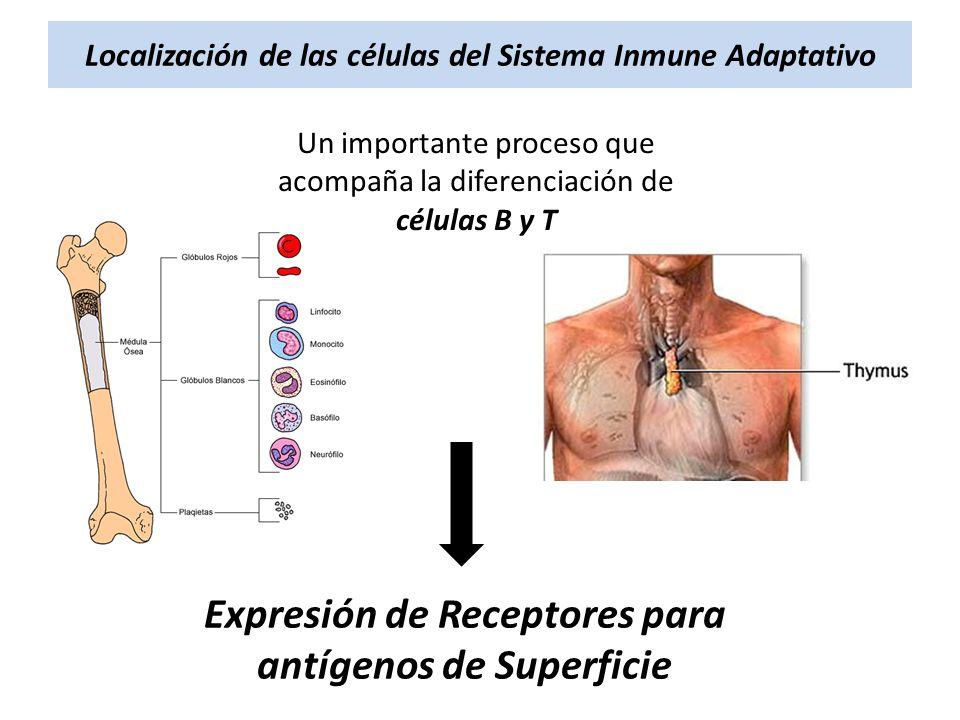 Localización de las células del Sistema Inmune Adaptativo Un importante proceso que acompaña la diferenciación de células B y T Expresión de Receptore
