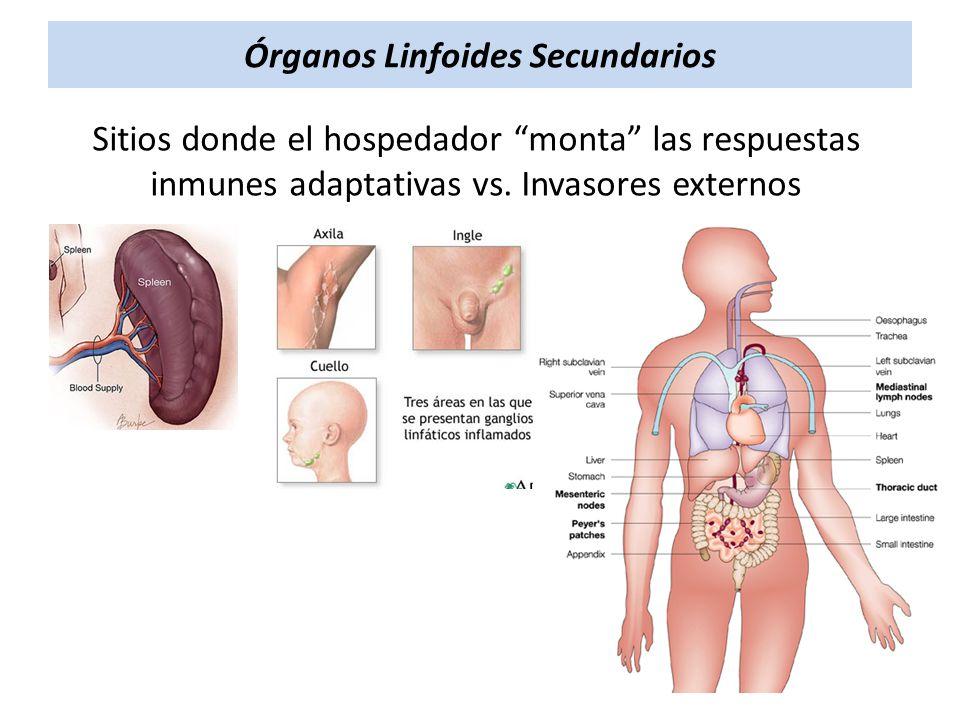 Órganos Linfoides Secundarios Sitios donde el hospedador monta las respuestas inmunes adaptativas vs. Invasores externos