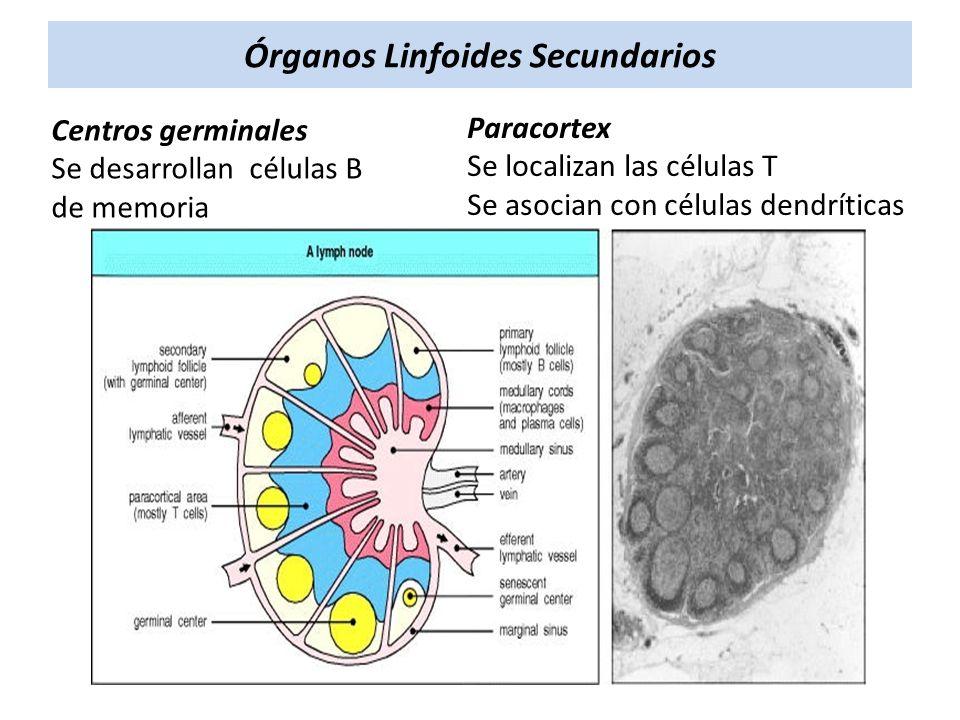 Centros germinales Se desarrollan células B de memoria Órganos Linfoides Secundarios Paracortex Se localizan las células T Se asocian con células dend