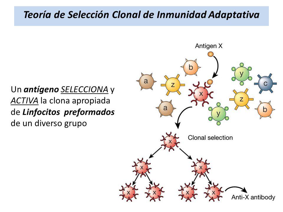 Teoría de Selección Clonal de Inmunidad Adaptativa Un antígeno SELECCIONA y ACTIVA la clona apropiada de Linfocitos preformados de un diverso grupo