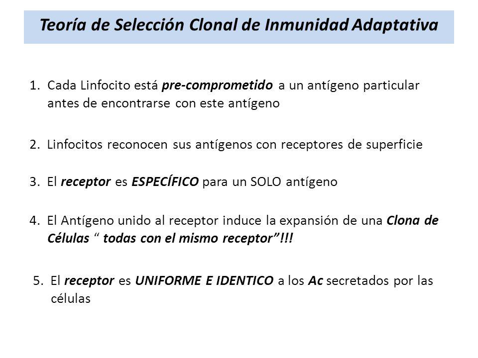 Teoría de Selección Clonal de Inmunidad Adaptativa 1.Cada Linfocito está pre-comprometido a un antígeno particular antes de encontrarse con este antíg
