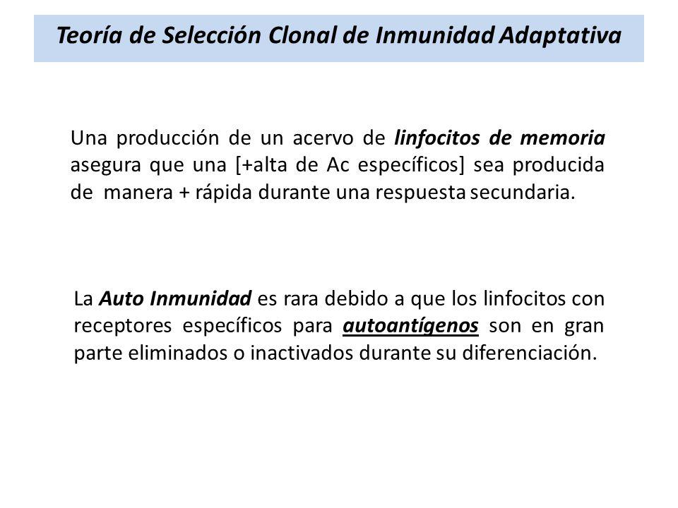 Una producción de un acervo de linfocitos de memoria asegura que una [+alta de Ac específicos] sea producida de manera + rápida durante una respuesta