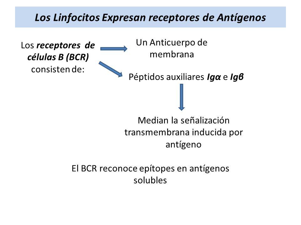 Los Linfocitos Expresan receptores de Antígenos Los receptores de células B (BCR) consisten de: Un Anticuerpo de membrana Péptidos auxiliares Igα e Ig