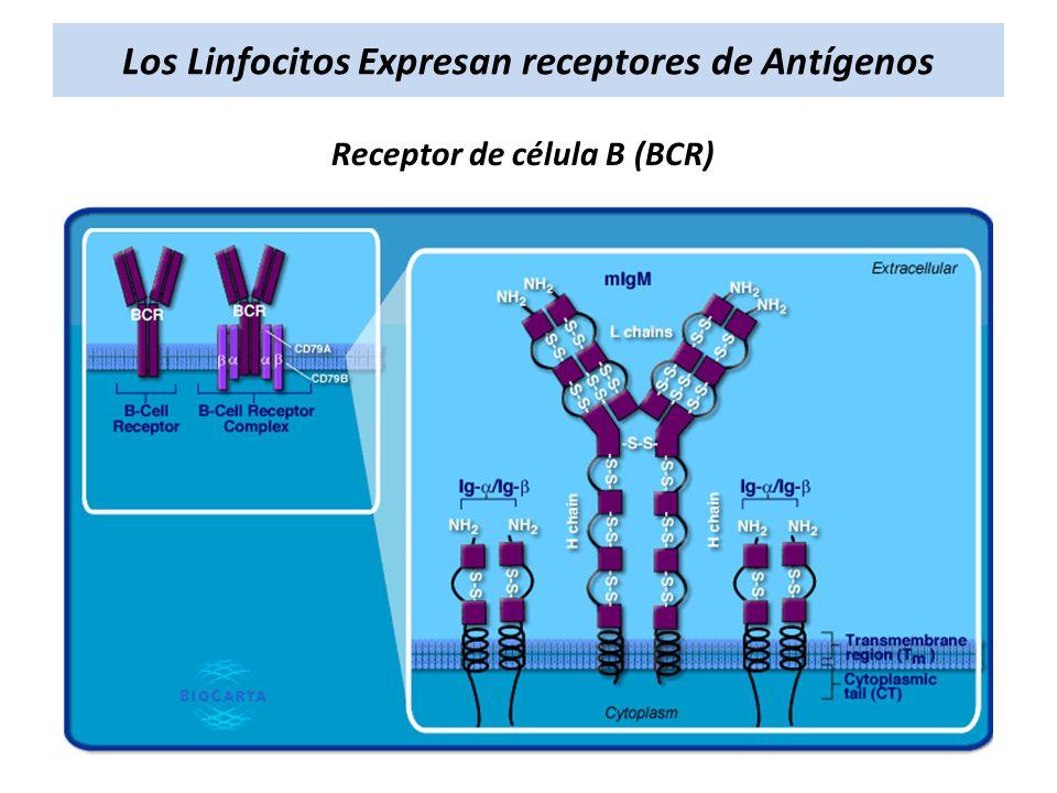Los Linfocitos Expresan receptores de Antígenos Receptor de célula B (BCR)