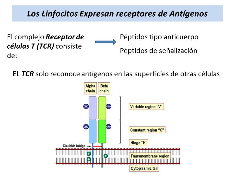 Los Linfocitos Expresan receptores de Antígenos El complejo Receptor de células T (TCR) consiste de: Péptidos tipo anticuerpo Péptidos de señalización