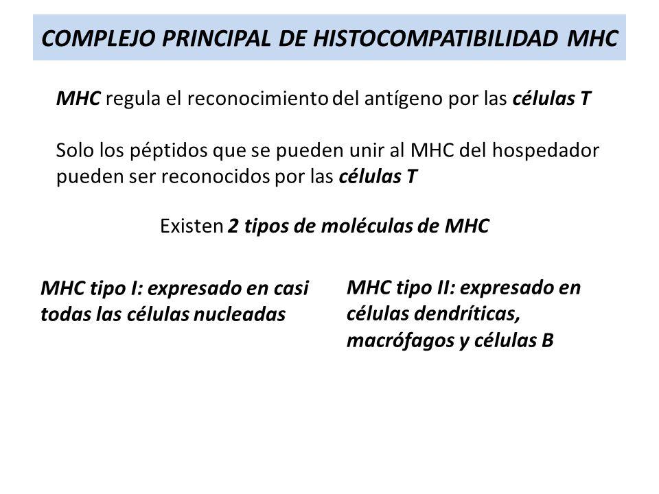 COMPLEJO PRINCIPAL DE HISTOCOMPATIBILIDAD MHC MHC regula el reconocimiento del antígeno por las células T Solo los péptidos que se pueden unir al MHC