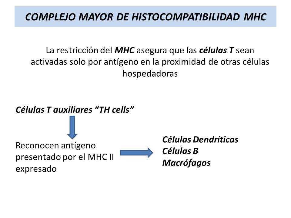 La restricción del MHC asegura que las células T sean activadas solo por antígeno en la proximidad de otras células hospedadoras Células T auxiliares