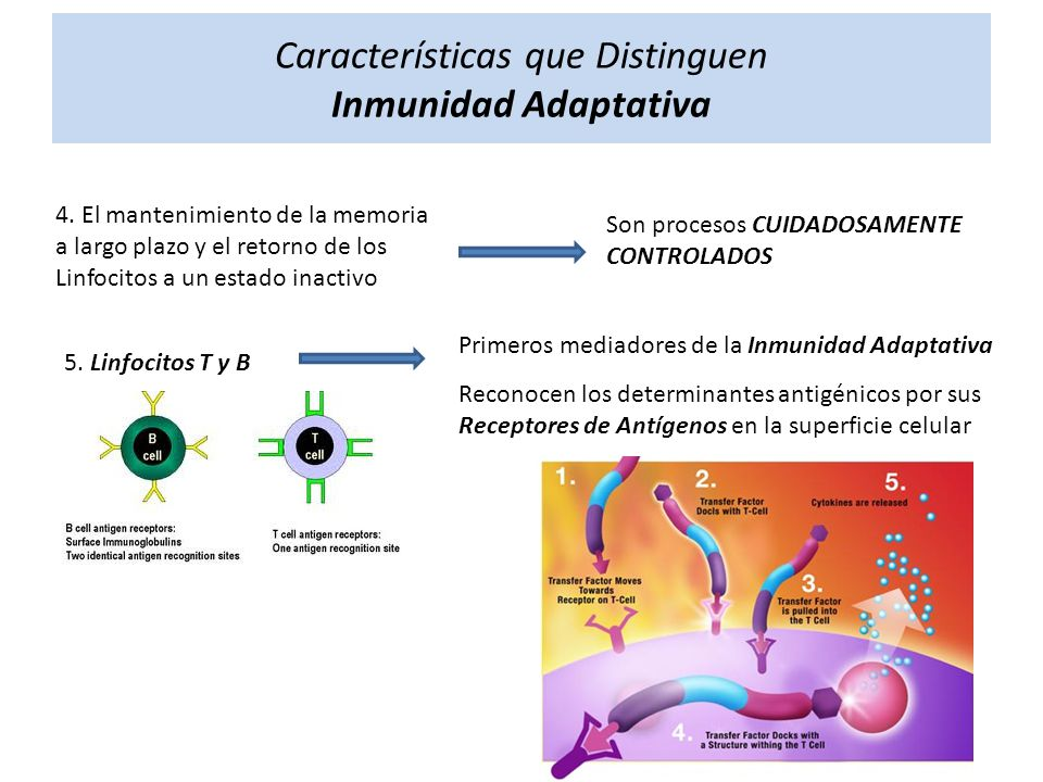 Características que Distinguen Inmunidad Adaptativa 4. El mantenimiento de la memoria a largo plazo y el retorno de los Linfocitos a un estado inactiv
