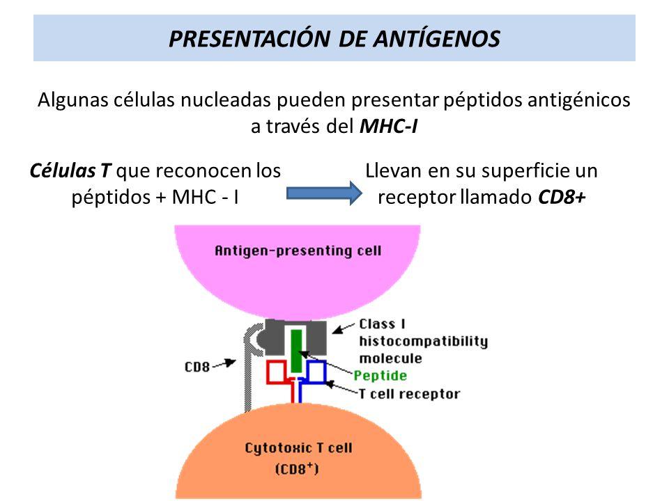 PRESENTACIÓN DE ANTÍGENOS Algunas células nucleadas pueden presentar péptidos antigénicos a través del MHC-I Células T que reconocen los péptidos + MH