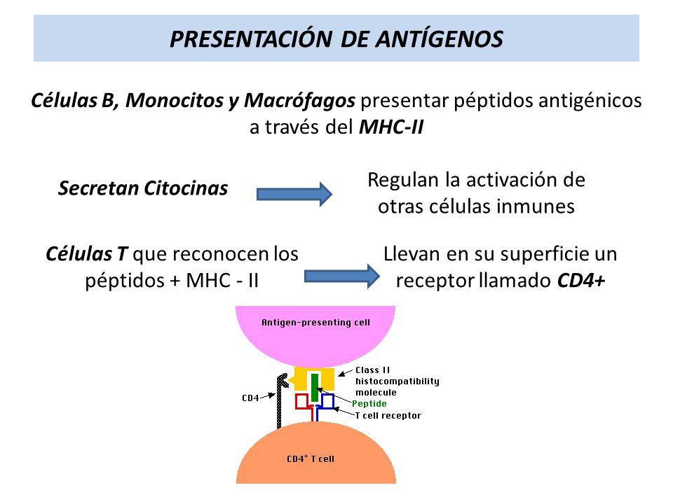 PRESENTACIÓN DE ANTÍGENOS Células B, Monocitos y Macrófagos presentar péptidos antigénicos a través del MHC-II Células T que reconocen los péptidos +