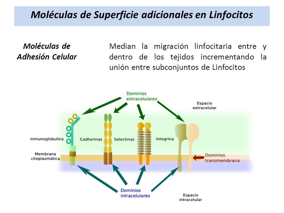 Moléculas de Superficie adicionales en Linfocitos Moléculas de Adhesión Celular Median la migración linfocitaria entre y dentro de los tejidos increme