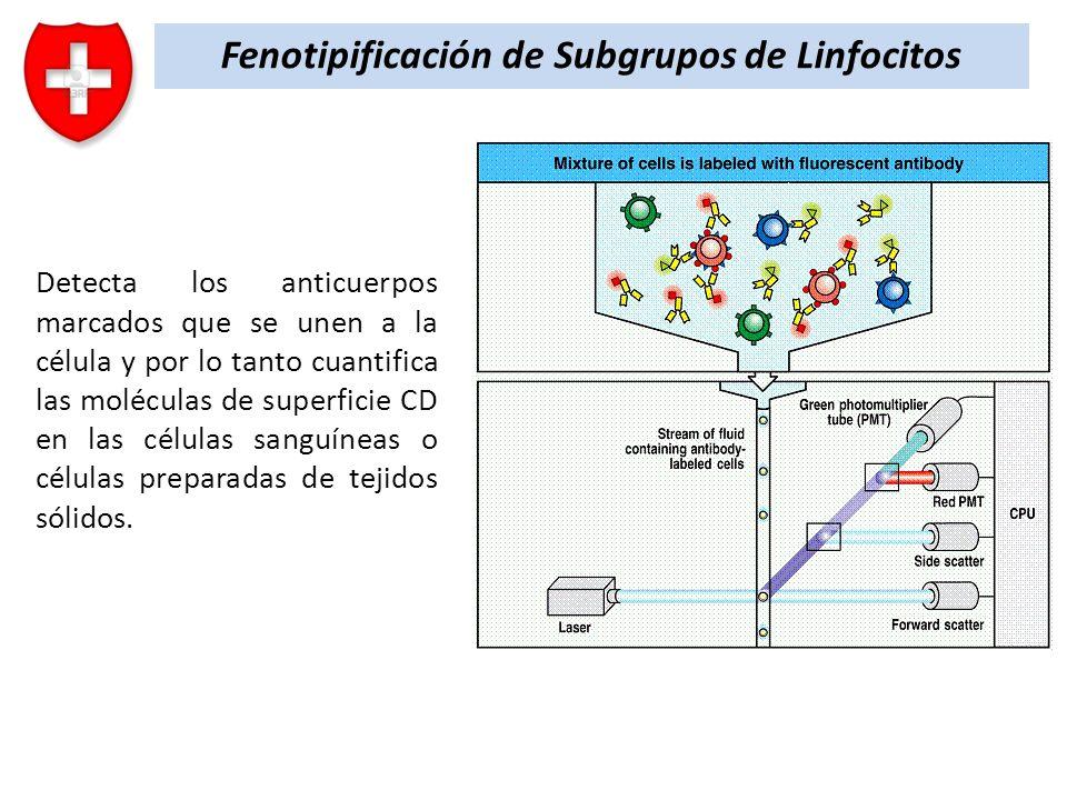 Fenotipificación de Subgrupos de Linfocitos Detecta los anticuerpos marcados que se unen a la célula y por lo tanto cuantifica las moléculas de superf
