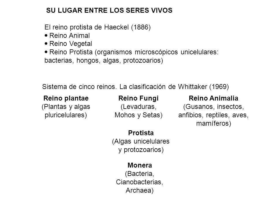 SU LUGAR ENTRE LOS SERES VIVOS El reino protista de Haeckel (1886) Reino Animal Reino Vegetal Reino Protista (organismos microscópicos unicelulares: b