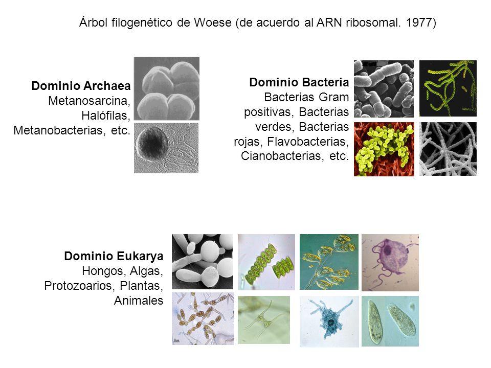 Árbol filogenético de Woese (de acuerdo al ARN ribosomal. 1977) Dominio Archaea Metanosarcina, Halófilas, Metanobacterias, etc. Dominio Bacteria Bacte