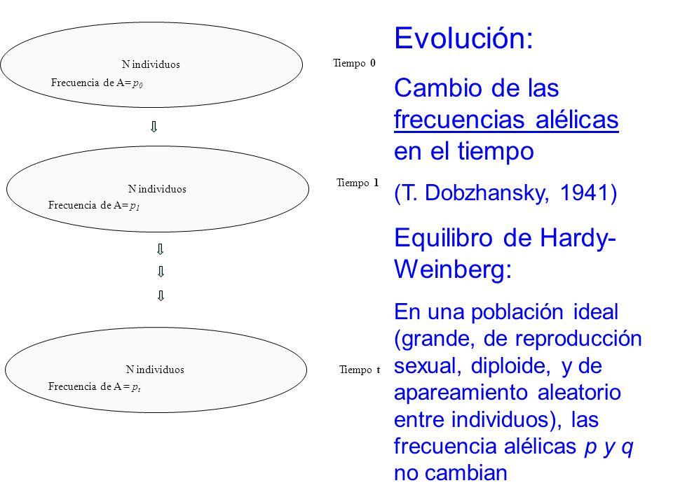 N individuos Tiempo 0 Tiempo 1 Tiempo t Frecuencia de A= p 0 Frecuencia de A= p 1 Frecuencia de A = p t Evolución: Cambio de las frecuencias alélicas en el tiempo (T.