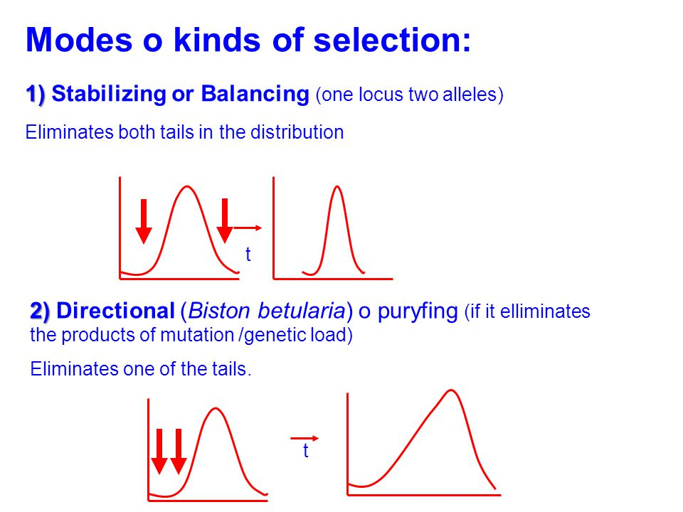 Modes o kinds of selection: 1) Stabilizing or Balancing 1) Stabilizing or Balancing (one locus two alleles) Eliminates both tails in the distribution 2) Directional 2) Directional (Biston betularia) o puryfing (if it elliminates the products of mutation /genetic load) Eliminates one of the tails.