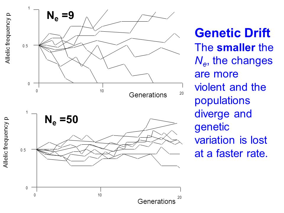 Generations Allelic frequency p 1 0.5 0 N e =9 10 20 0 Allelic frequency p 1 0.5 0 10 20 0 Generations N e =50 Genetic Drift smaller The smaller the N