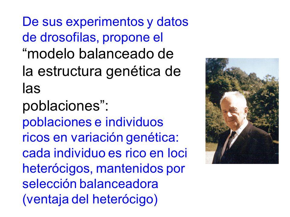 De sus experimentos y datos de drosofilas, propone el modelo balanceado de la estructura genética de las poblaciones: poblaciones e individuos ricos en variación genética: cada individuo es rico en loci heterócigos, mantenidos por selección balanceadora (ventaja del heterócigo)