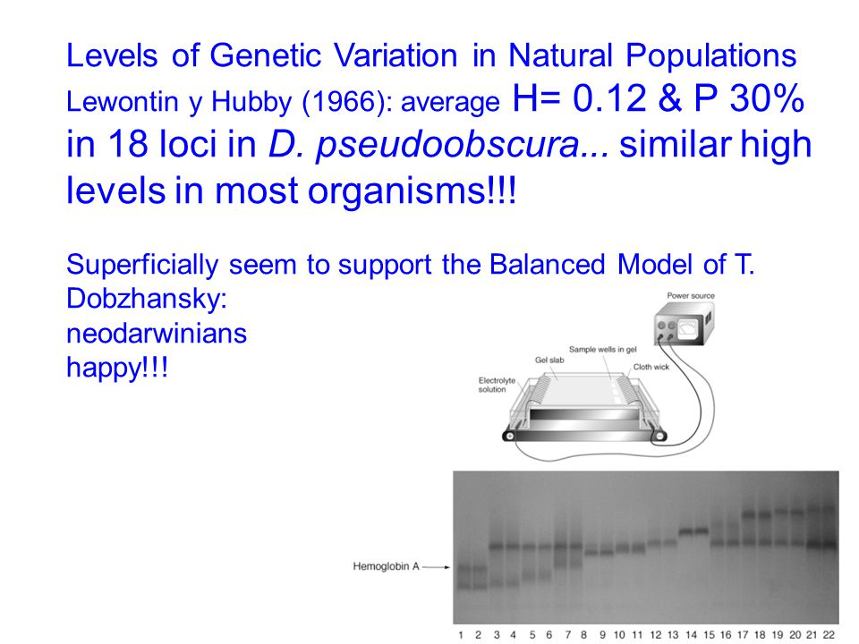 Levels of Genetic Variation in Natural Populations Lewontin y Hubby (1966): average H= 0.12 & P 30% in 18 loci in D. pseudoobscura... similar high lev
