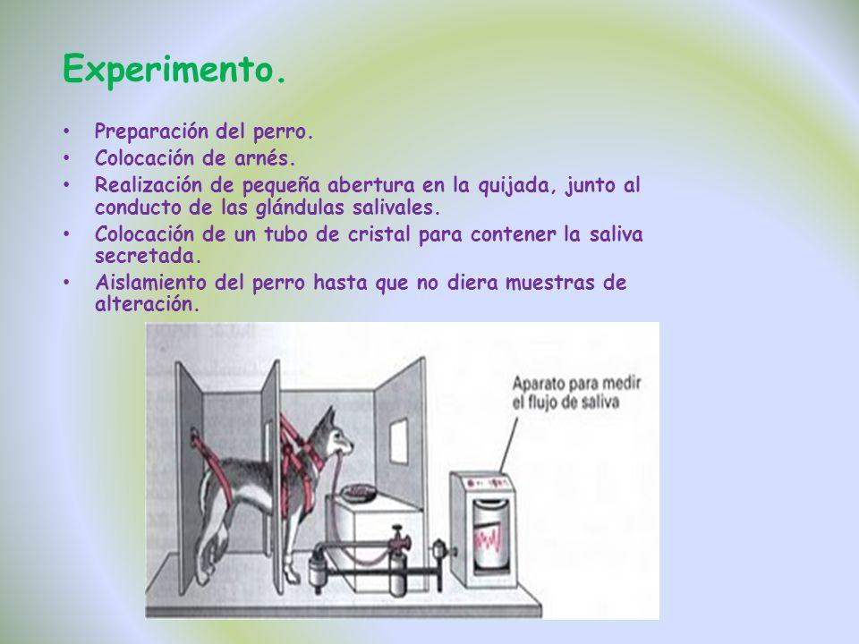 Experimento. Preparación del perro. Colocación de arnés. Realización de pequeña abertura en la quijada, junto al conducto de las glándulas salivales.