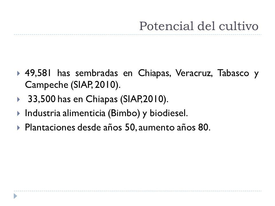 Potencial del cultivo 49,581 has sembradas en Chiapas, Veracruz, Tabasco y Campeche (SIAP, 2010). 33,500 has en Chiapas (SIAP,2010). Industria aliment