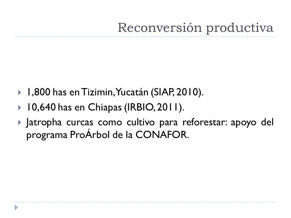 Reconversión productiva 1,800 has en Tizimin, Yucatán (SIAP, 2010). 10,640 has en Chiapas (IRBIO, 2011). Jatropha curcas como cultivo para reforestar: