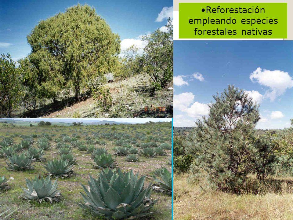 Reforestación empleando especies forestales nativas