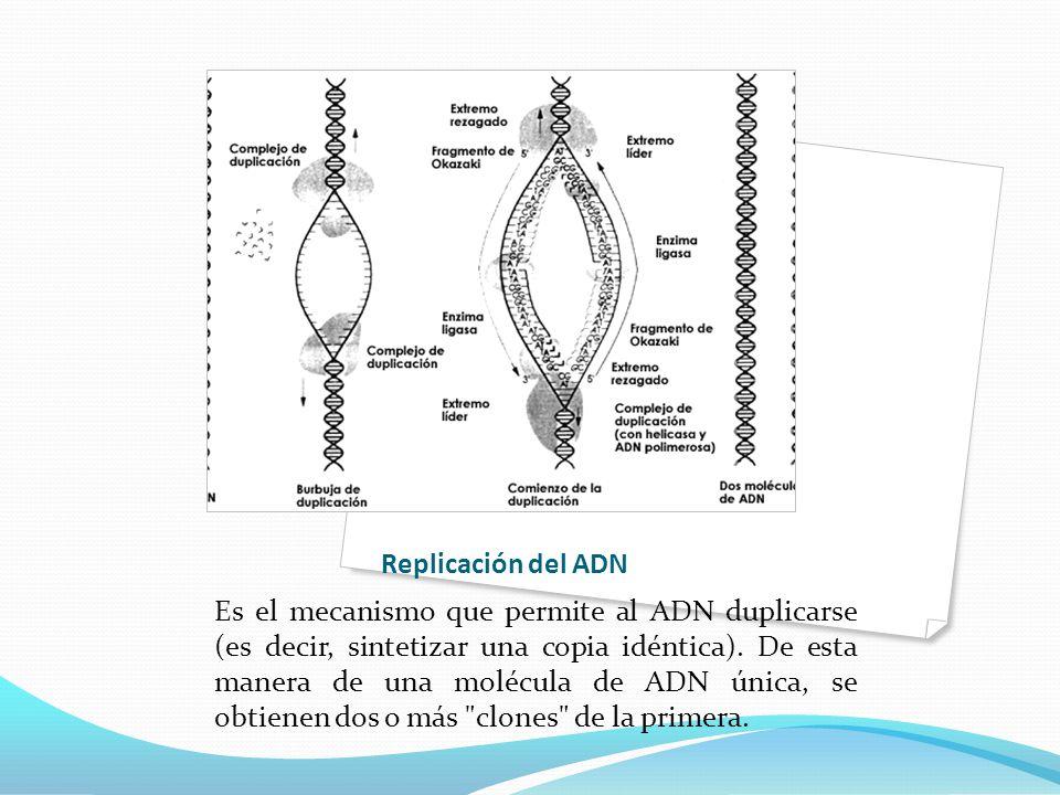 Replicación del ADN Es el mecanismo que permite al ADN duplicarse (es decir, sintetizar una copia idéntica).