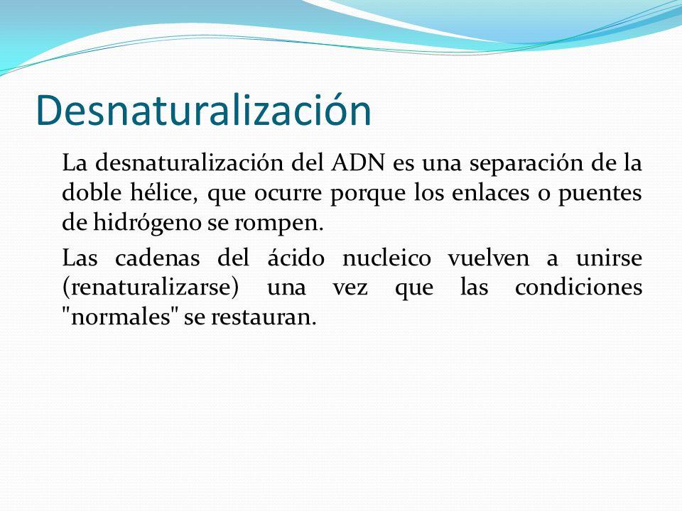 Desnaturalización La desnaturalización del ADN es una separación de la doble hélice, que ocurre porque los enlaces o puentes de hidrógeno se rompen.