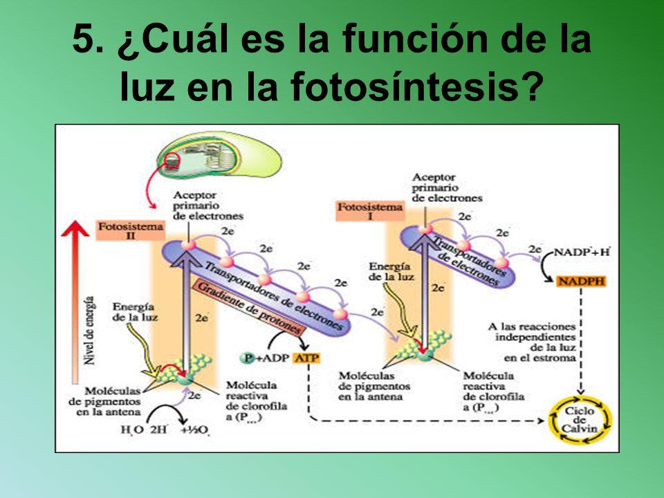5. ¿Cuál es la función de la luz en la fotosíntesis?