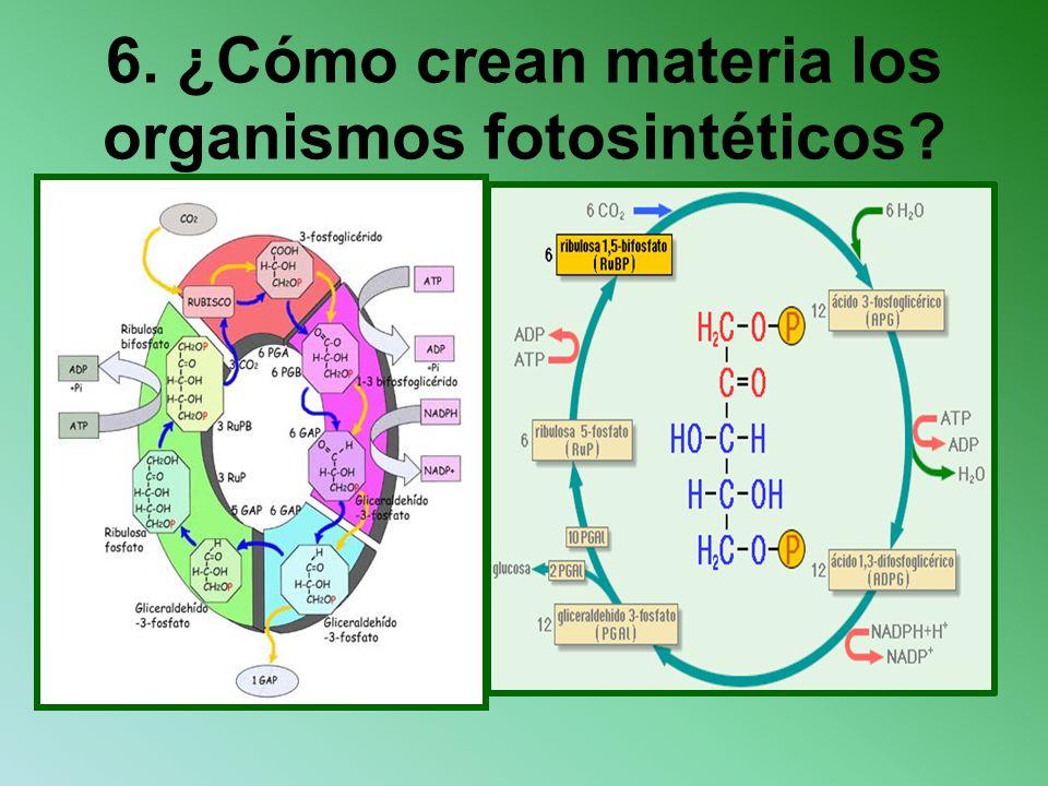 6. ¿Cómo crean materia los organismos fotosintéticos?