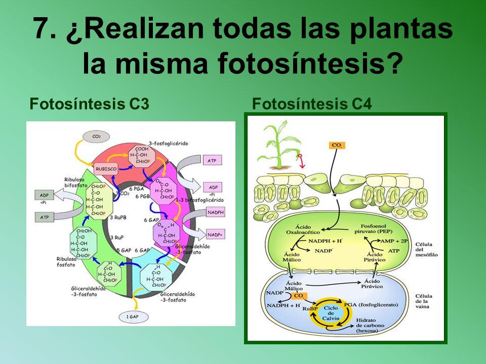 7. ¿Realizan todas las plantas la misma fotosíntesis? Fotosíntesis C3Fotosíntesis C4