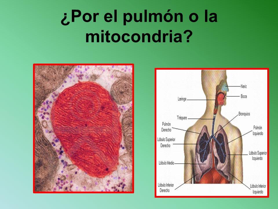 ¿Por el pulmón o la mitocondria?