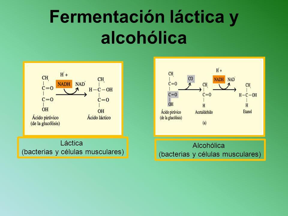 Fermentación láctica y alcohólica Láctica (bacterias y células musculares) Alcohólica (bacterias y células musculares)