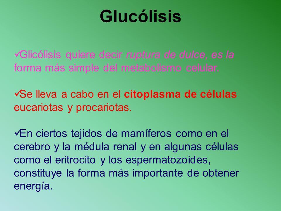 Glicólisis quiere decir ruptura de dulce, es la forma más simple del metabolismo celular. Se lleva a cabo en el citoplasma de células eucariotas y pro