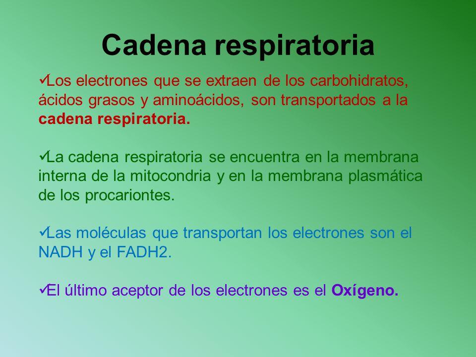 Cadena respiratoria Los electrones que se extraen de los carbohidratos, ácidos grasos y aminoácidos, son transportados a la cadena respiratoria. La ca
