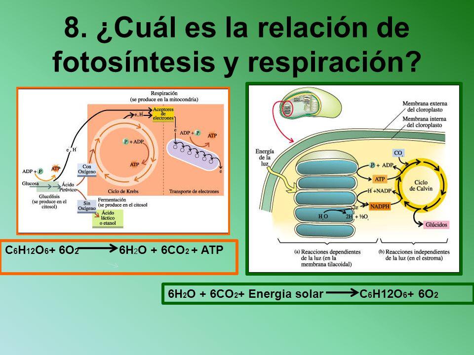 8. ¿Cuál es la relación de fotosíntesis y respiración? C 6 H 12 O 6 + 6O 2 6H 2 O + 6CO 2 + ATP 6H 2 O + 6CO 2 + Energia solar C 6 H12O 6 + 6O 2