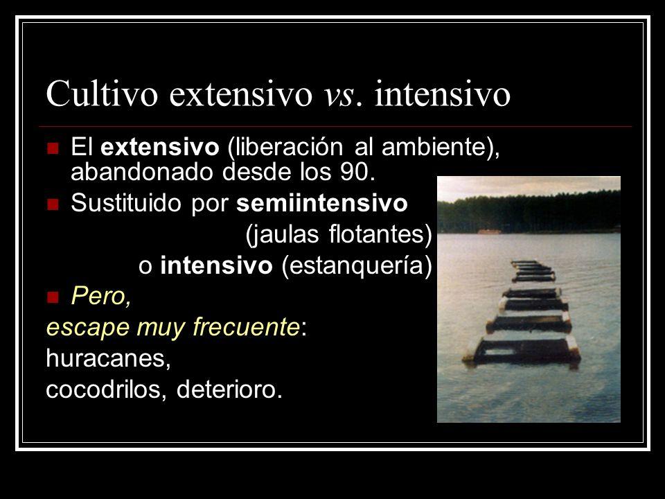 Cultivo extensivo vs. intensivo El extensivo (liberación al ambiente), abandonado desde los 90. Sustituido por semiintensivo (jaulas flotantes) o inte