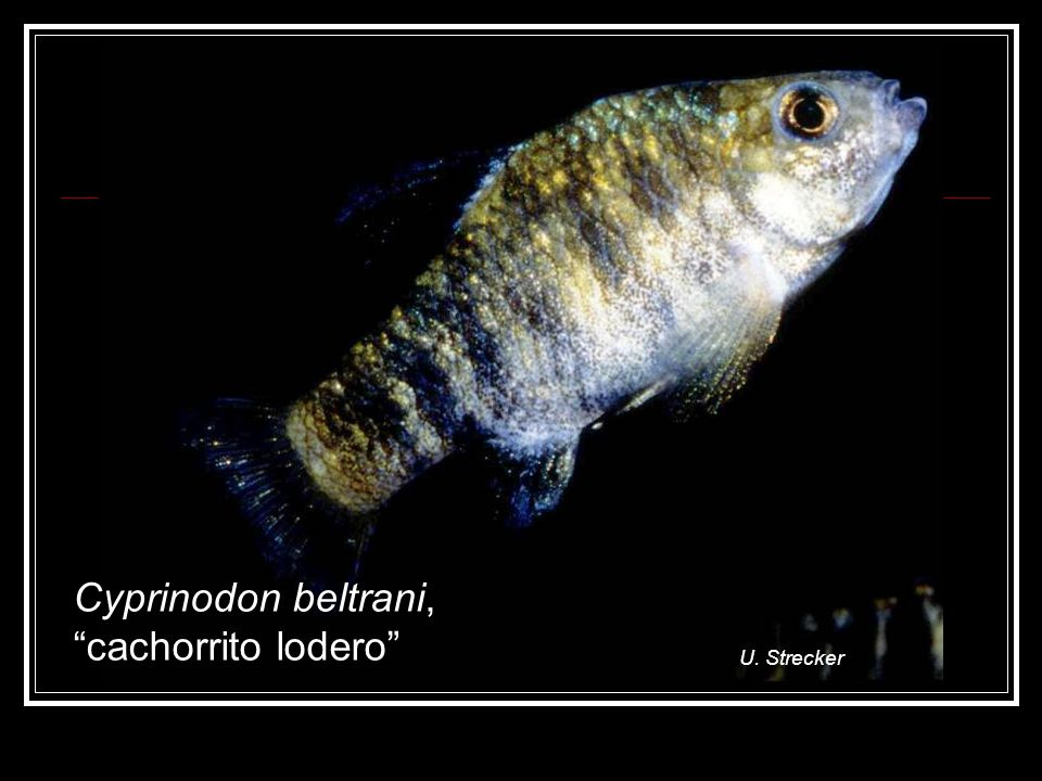 U. Strecker Cyprinodon beltrani, cachorrito lodero