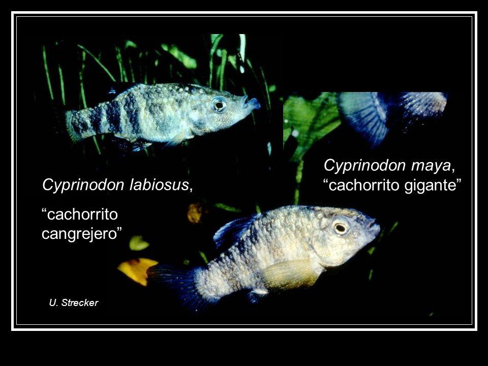 Cyprinodon labiosus, cachorrito cangrejero Cyprinodon maya, cachorrito gigante U. Strecker