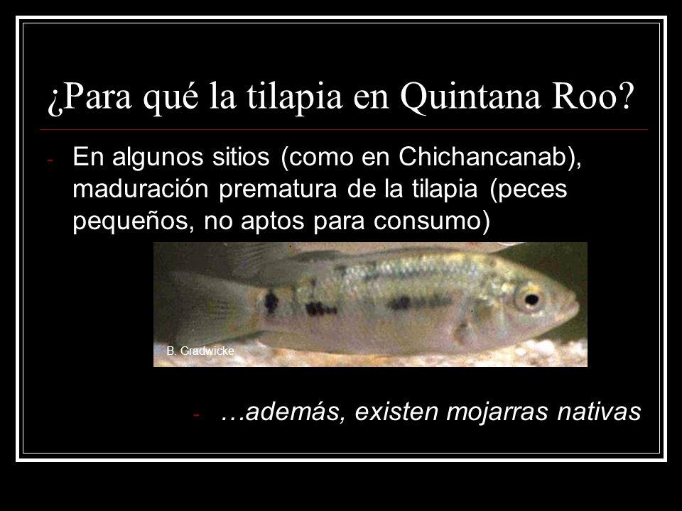 ¿Para qué la tilapia en Quintana Roo? - En algunos sitios (como en Chichancanab), maduración prematura de la tilapia (peces pequeños, no aptos para co