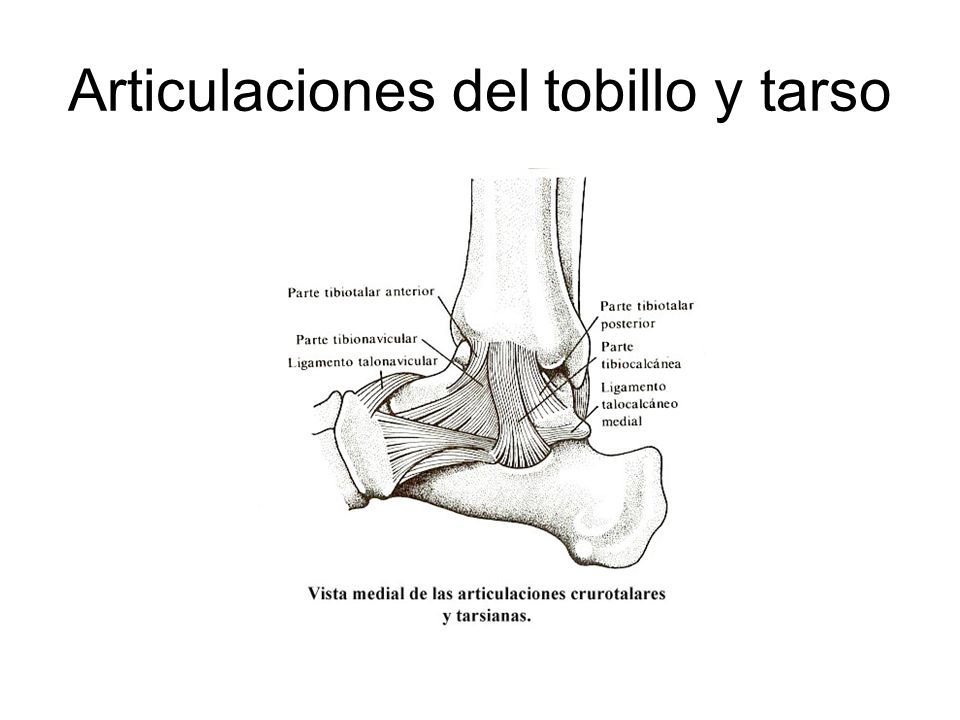Articulaciones del tobillo y tarso