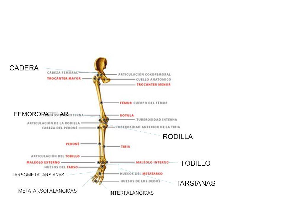 Articulaciones de la cintura pélvica a) Sacroiliacas b) Coxofemorales Articulaciones del miembro pélvico d) Rodilla e) Tibiofibular proximal f) Tibiofibular media g) Tibiofibular distal h) Talocrural o tobillo i) Tarsianas j) Tarso metatarsiana k) Metatarso-falángicas l) Interfalángicas