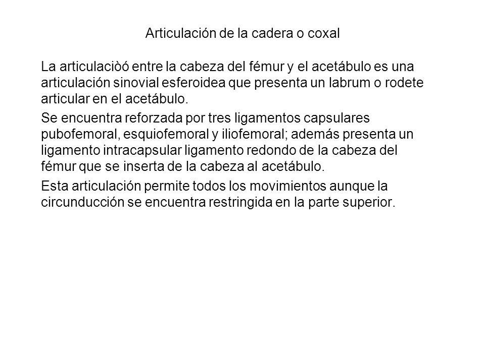 Articulación de la cadera o coxal La articulaciòó entre la cabeza del fémur y el acetábulo es una articulación sinovial esferoidea que presenta un lab