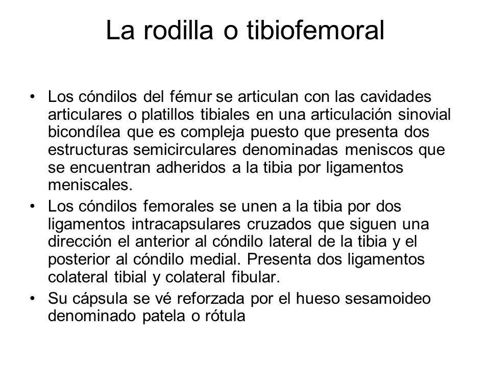 La rodilla o tibiofemoral Los cóndilos del fémur se articulan con las cavidades articulares o platillos tibiales en una articulación sinovial bicondíl
