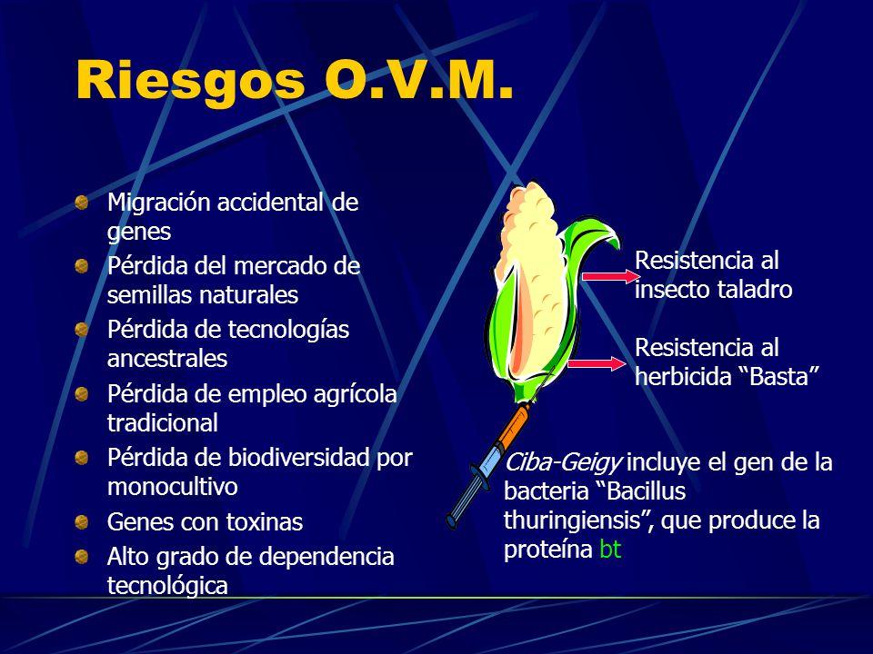 Riesgos O.V.M. Migración accidental de genes Pérdida del mercado de semillas naturales Pérdida de tecnologías ancestrales Pérdida de empleo agrícola t