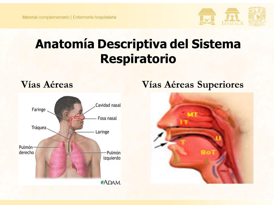 Anatomía Descriptiva del Sistema Respiratorio Vías AéreasVías Aéreas Superiores