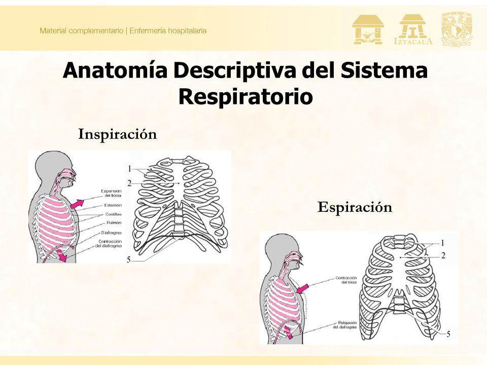Inspiración Espiración Anatomía Descriptiva del Sistema Respiratorio